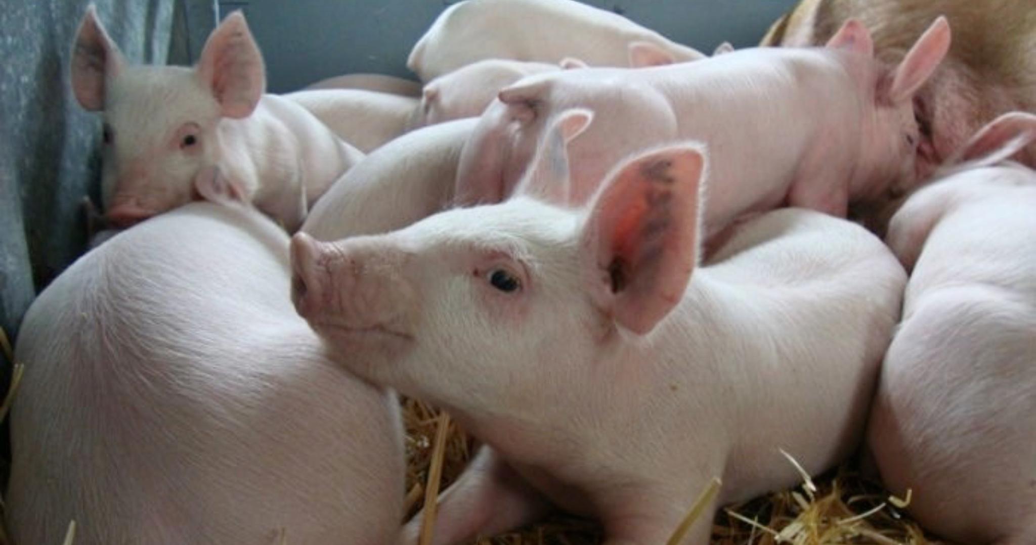 Povinná registrácia chovu ošípaných a hospodárských zvierat